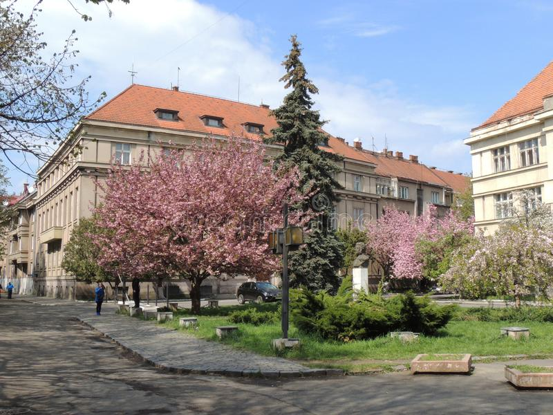 Blühende Kirschblüte-Bäume in Uzhgorod stockbild