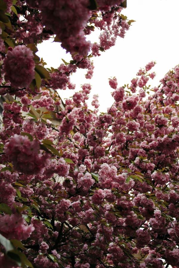 Blühende Kirschblüte im Frühjahr lizenzfreie stockbilder