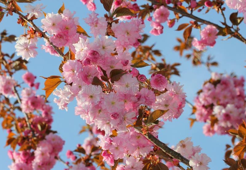 Blühende Kirschblüte mit rosa Blumen lizenzfreie stockfotografie