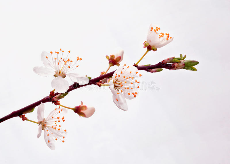Blühende Kirschblüte-Niederlassung. lizenzfreie stockbilder