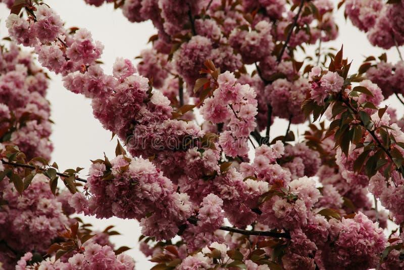 Blühende Kirschblüte rosa im Frühjahr lizenzfreie stockfotos