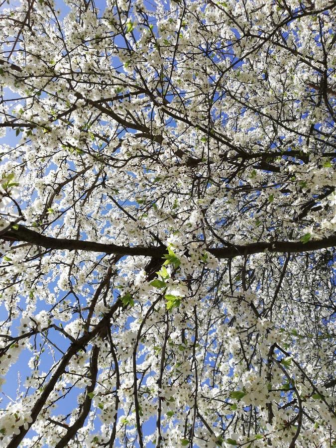 Blühende Kirsche lizenzfreies stockfoto