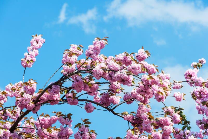 Blühende Kirsche auf Hintergrund des blauen Himmels am sonnigen Tag stockfoto