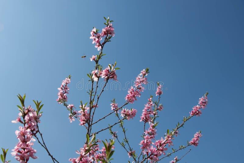 Blühende Kirsche, Biene, die junge Blumen bestäubt lizenzfreie stockbilder