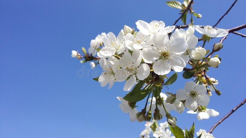 Blühende Kirsche Gegen Den Blauen Himmel Weiße Blumen Auf Einem Baum ...