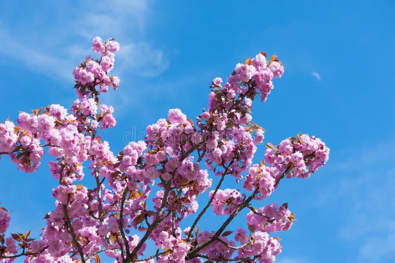 Blühende Kirschen in voller Blüte stockfotos