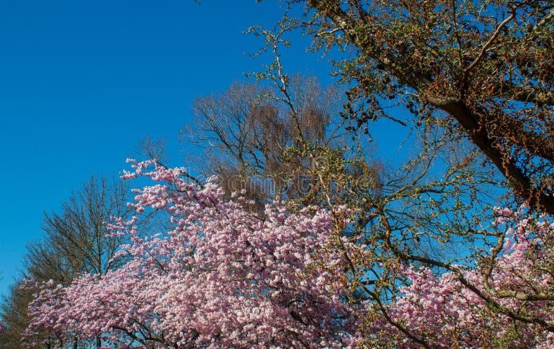 Blühende Kirschniederlassungen und blauer Himmel lizenzfreies stockbild