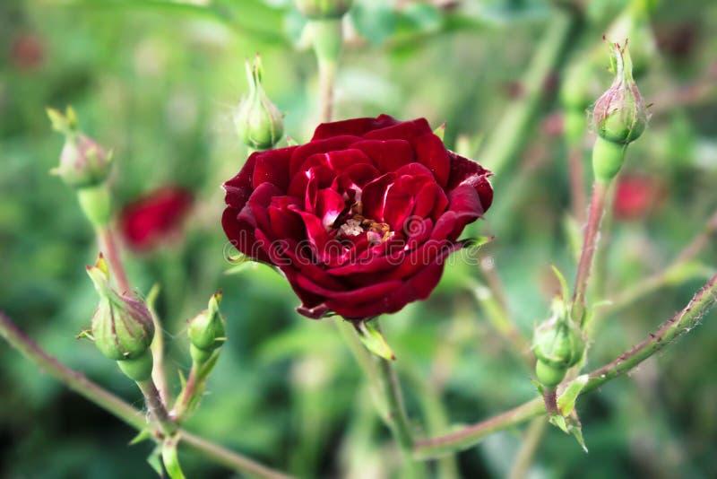 Bl?hende Knospe einer roten Rose Rote und gelbe Farben lizenzfreies stockfoto
