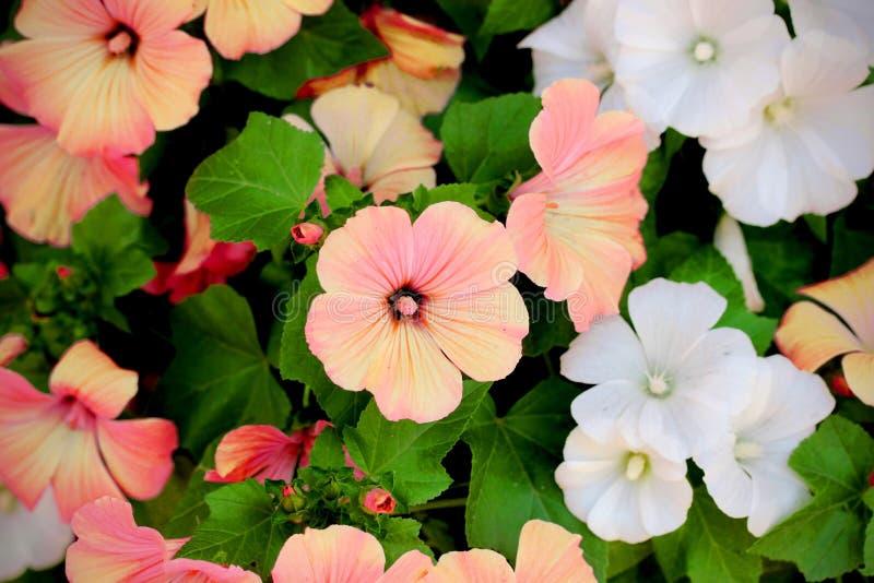 Blühende Koralle Und Weiße Blumen Lavatera Trimestris (jährliches MA ...