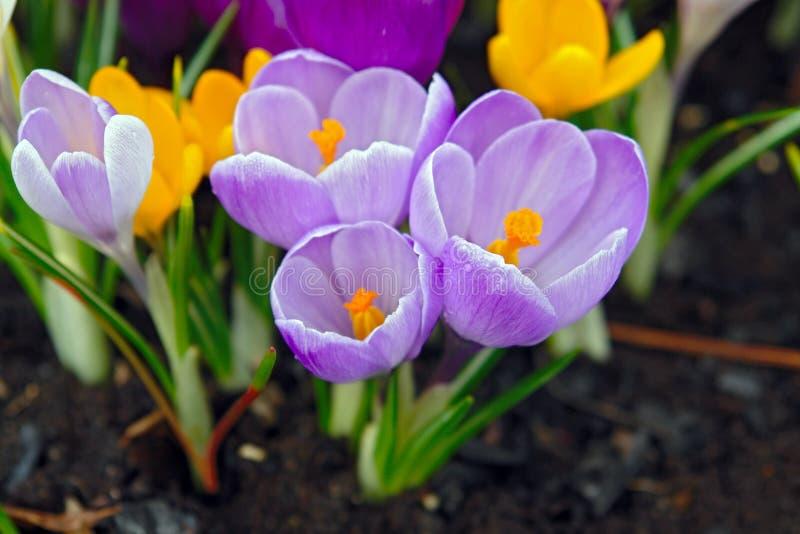 Blühende Krokusse. stockbilder