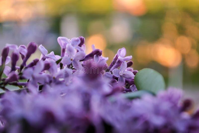 Blühende lila Blumen Auszug unscharfer Hintergrund Große Details! stockfotos