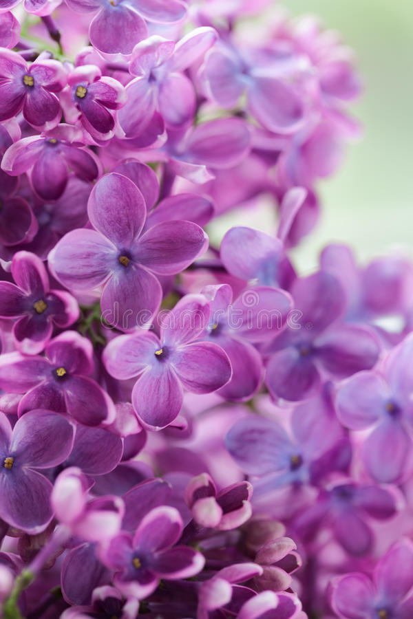 Blühende lila purpurrote Blumen nah oben lizenzfreies stockfoto