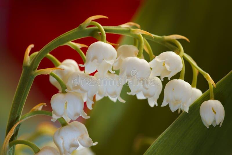 Blühende Lilie des Tales stockfotografie