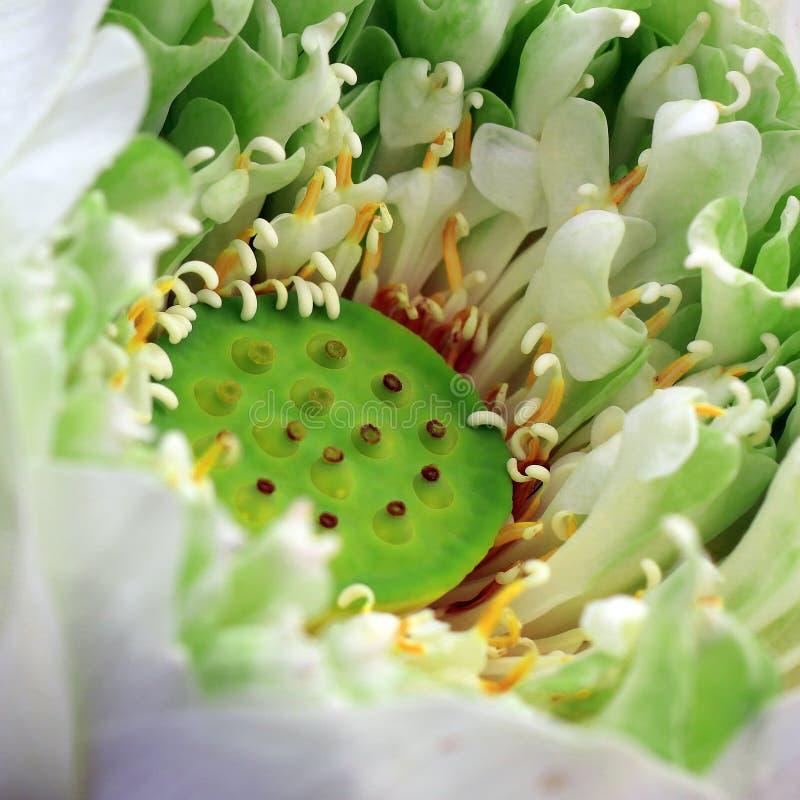 Blühende Lotosblume lizenzfreies stockbild