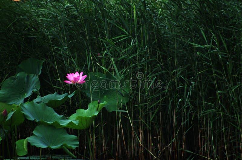 Blühende Lotosblume und REEDwand lizenzfreie stockfotos