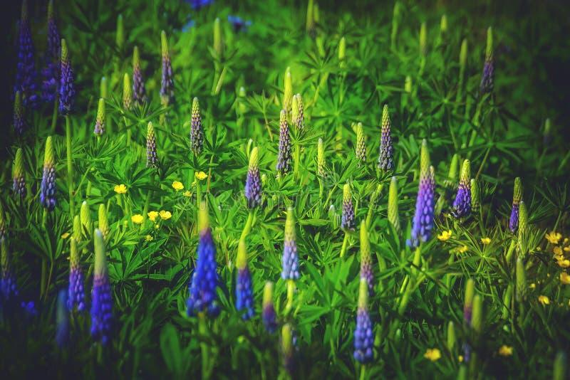 Blühende Lupinen und Butterblumeen stockfoto