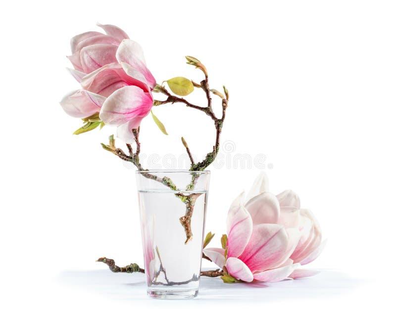 Blühende Magnolie lizenzfreie stockfotografie
