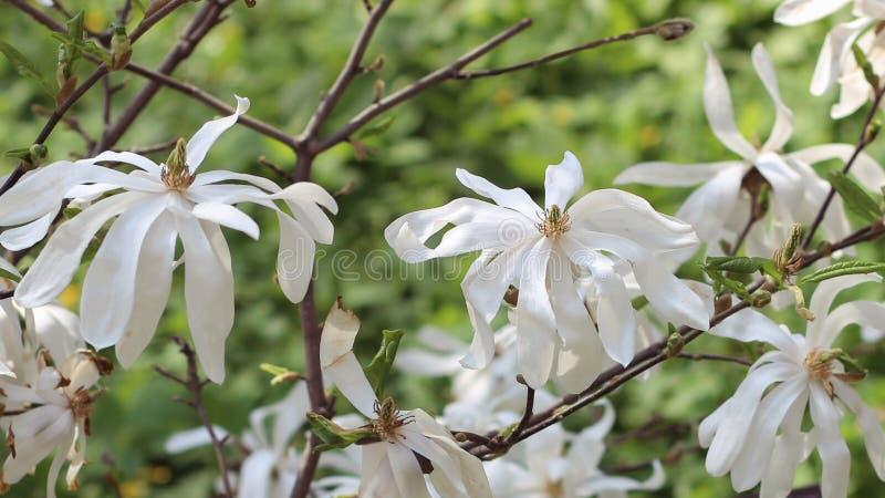Blühende Magnolie Großartige weiße Magnolienblumen an einem sonnigen Frühlingstag Unscharfer Hintergrund im Hintergrund stockfotografie