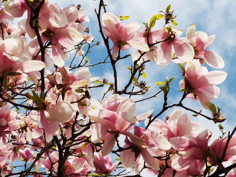 Blühende Magnolie - im Sonnenlicht vom Frühling lizenzfreies stockbild
