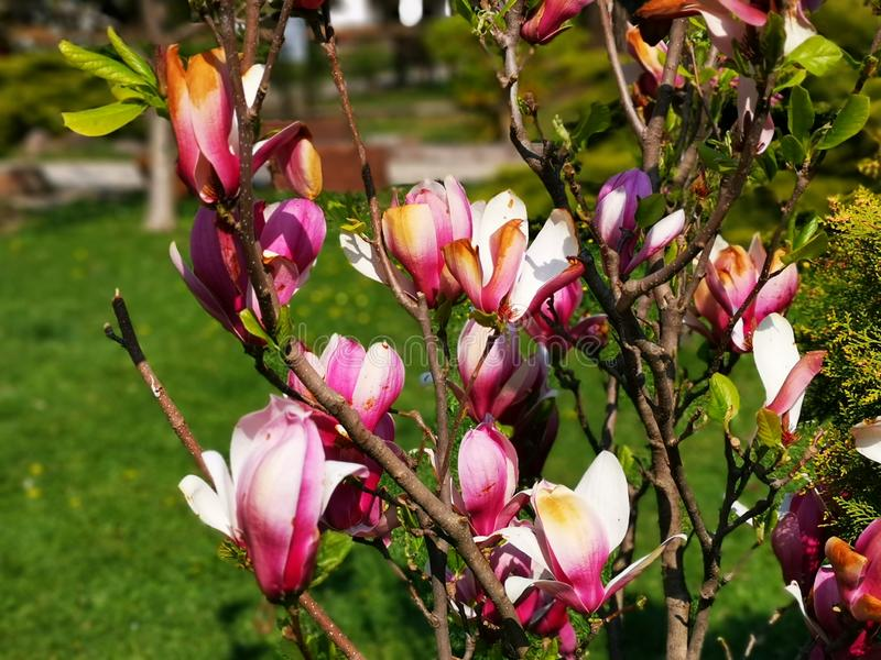 Blühende Magnolie - im Sonnenlicht vom Frühling stockfotos