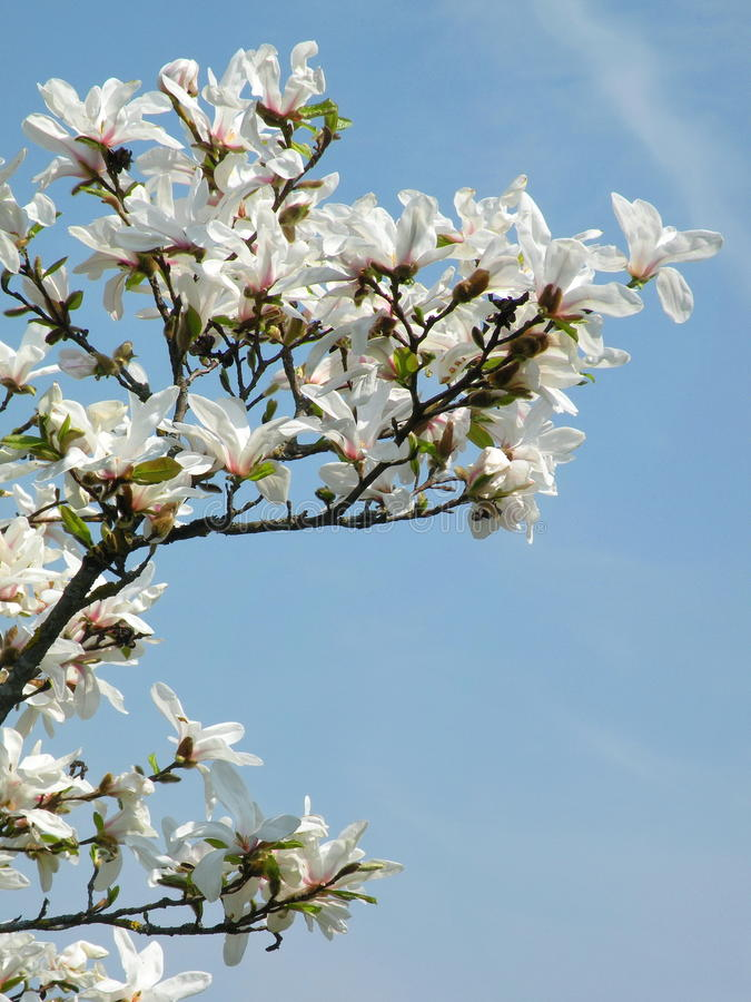 Blühende Magnolienanlage lizenzfreie stockbilder