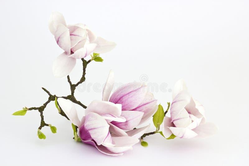 Magnolienblume stockfotografie