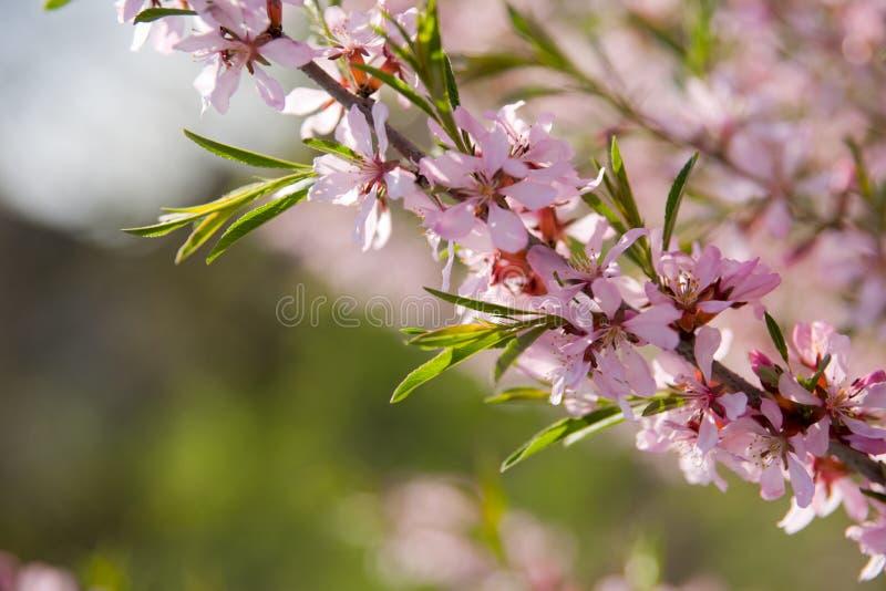 Blühende Mandel lizenzfreie stockbilder