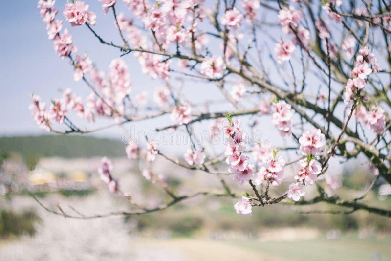 Blühende Mandeln lizenzfreie stockbilder