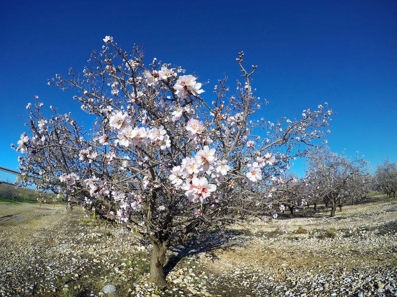 Blühende Mandeln lizenzfreie stockfotografie