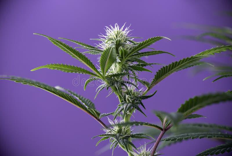 Blühende Marihuanaanlage mit frühem weißem Hanf blüht vorbei lizenzfreies stockfoto