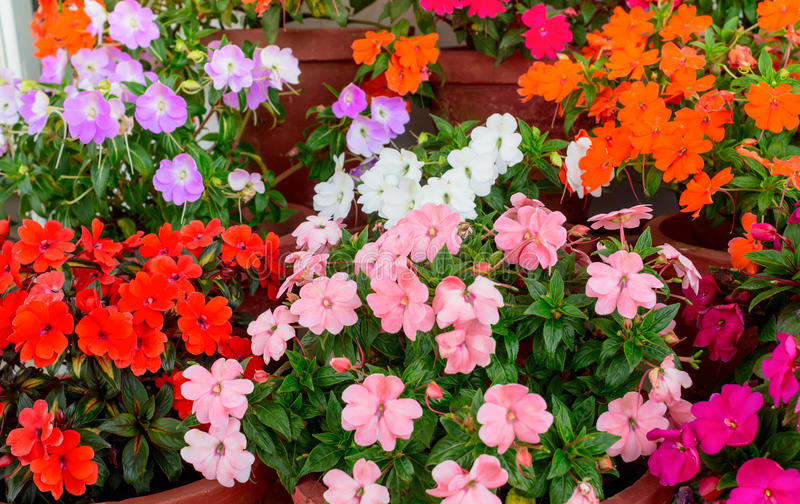 Blühende mehrfarbige Impatiens-Blumen in den Behältern stockfotografie