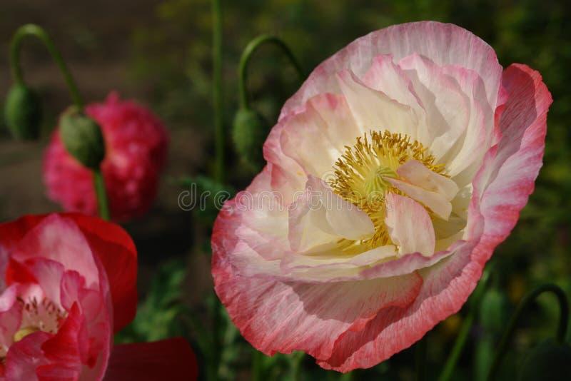 Blühende Mohnblumen in einem Blumenbeet lizenzfreies stockfoto