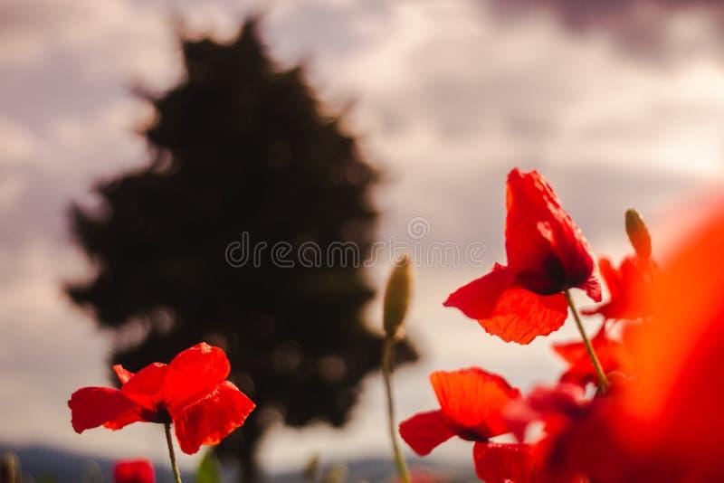 Blühende Mohnblumen und ein Baum stockfotos