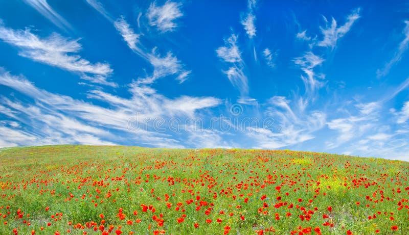 Blühende Mohnblumewiese stockfotos