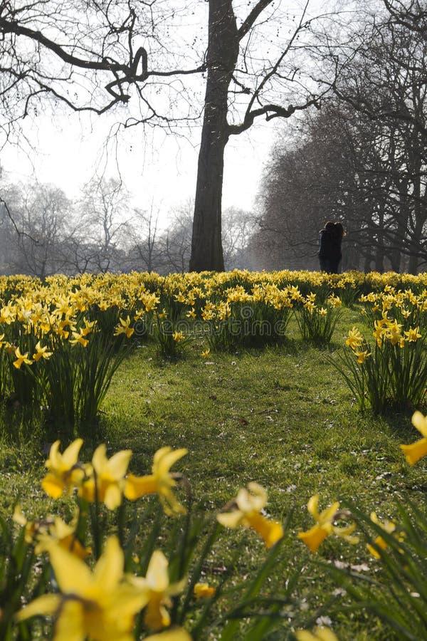 Blühende Narzissen herein, London, Großbritannien. stockfotos