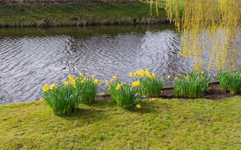 Blühende Narzissenblumen stockfotos