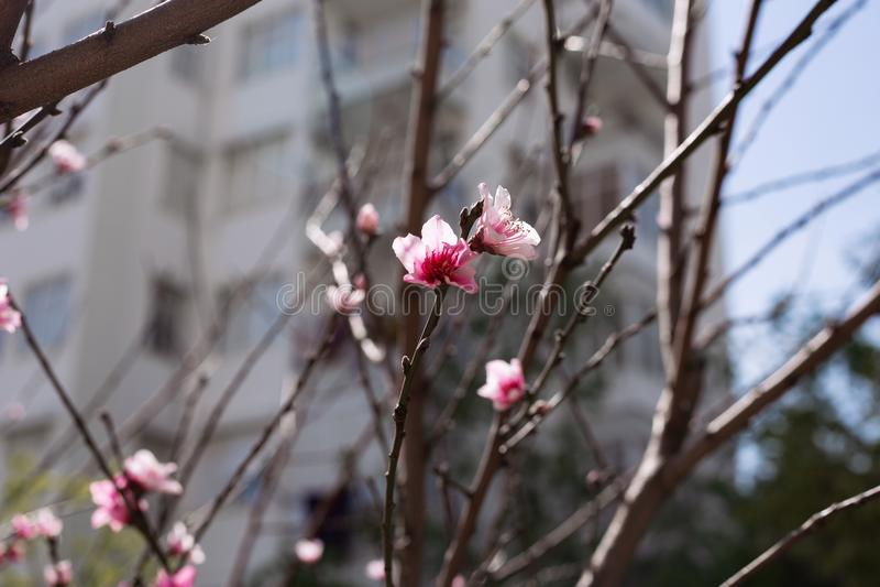 Blühende Niederlassung der Frühlingsaprikose stockbilder