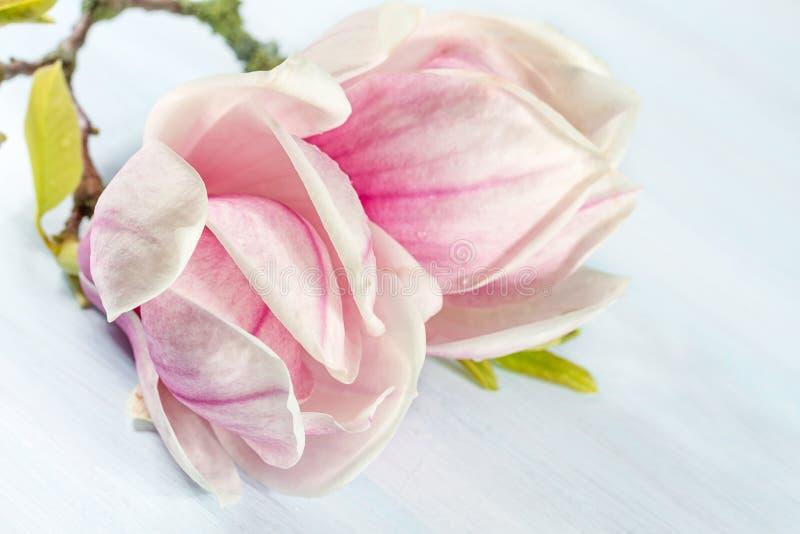 Blühende Niederlassung der Magnolie. stockbilder