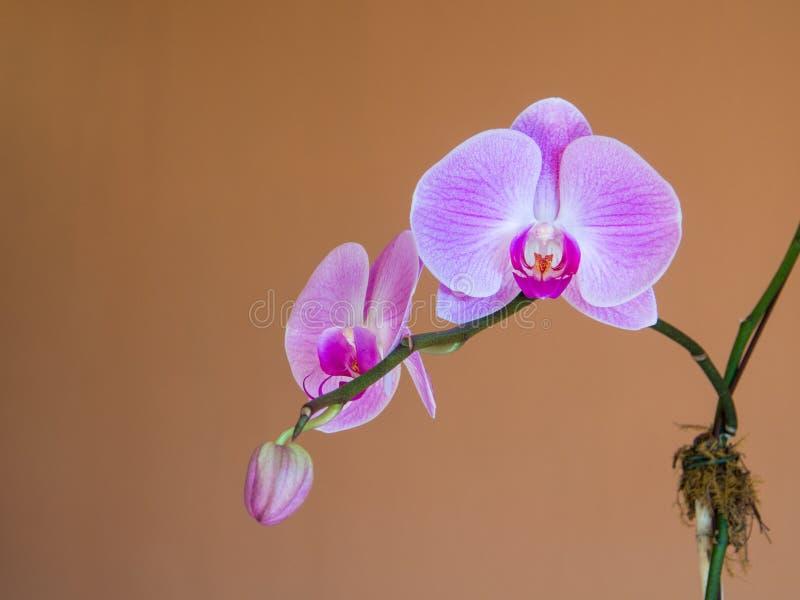 Blühende Niederlassung der rosa Orchidee mit der Knospe vor Terrakottahintergrundabschluß oben stockfotografie