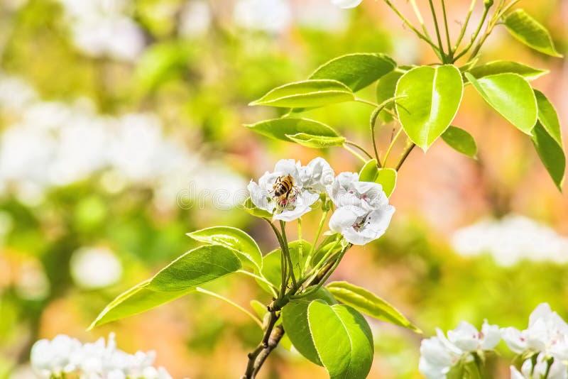 Blühende Niederlassung des Birnenbaums auf unscharfer Hintergrundfeder Garde stockbilder
