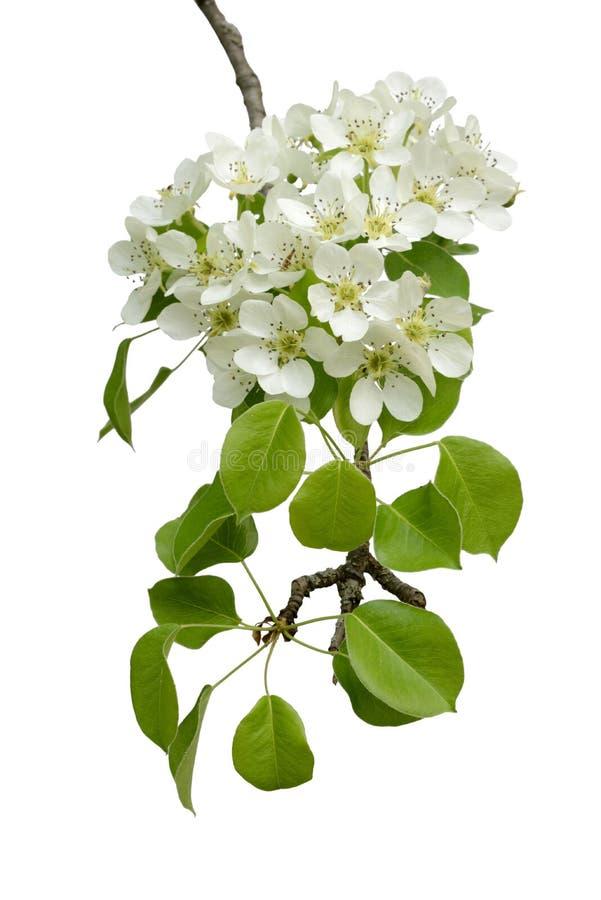 Blühende Niederlassung des Birnenholzes stockbild
