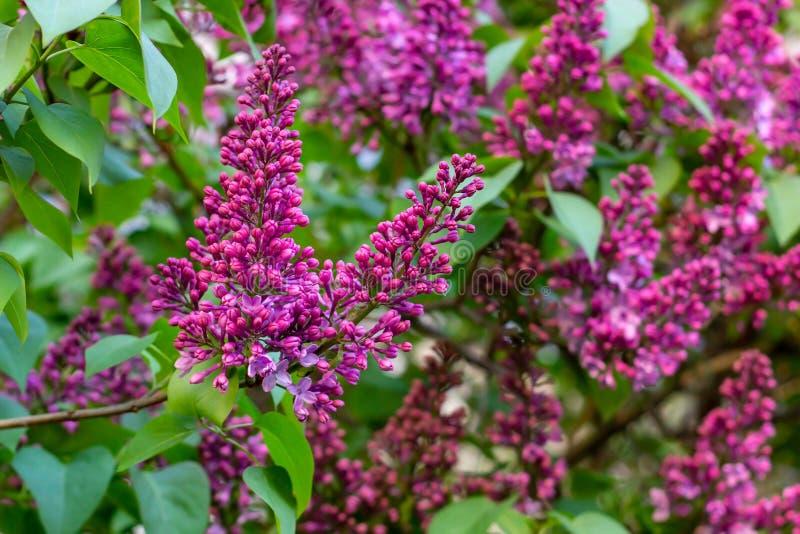Blühende Niederlassung von gemeinen Blumen des purpurroten lila Syringa auf grünem Park des Blatthintergrundes im Frühjahr lizenzfreies stockbild