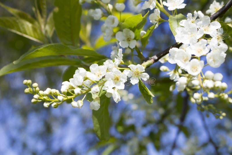 Blühende Niederlassung von Kirschblüten gegen den blauen Himmel lizenzfreie stockfotografie