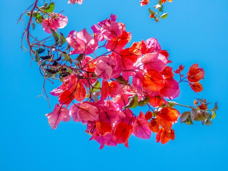 Blühende Niederlassungen des rosa Bouganvillas auf einem Hintergrund des blauen Himmels, ABSCHLUSS OBEN stockfotografie