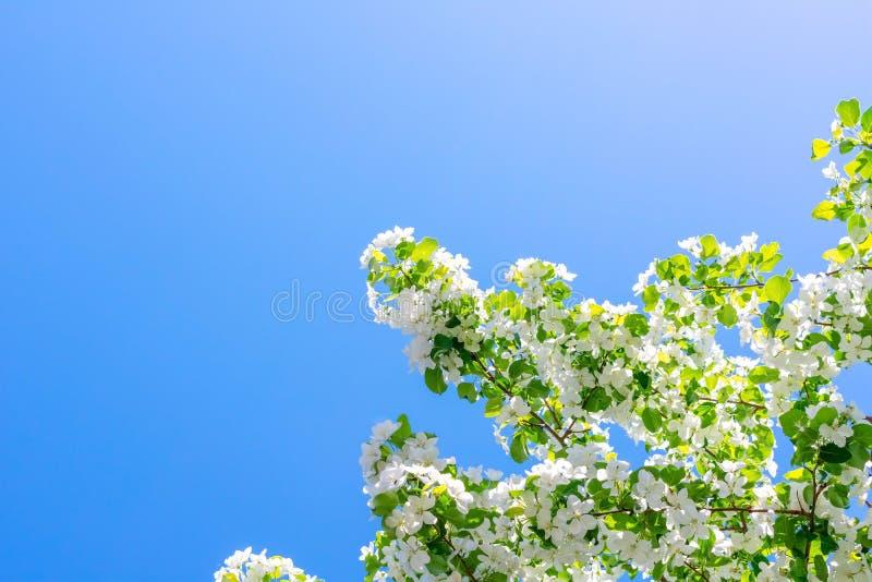 Blühende Niederlassungen von Apfelbäumen belichtet durch die Sonne gegen den blauen Himmel lizenzfreie stockfotografie