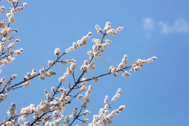 Blühende Niederlassungen von Bäumen gegen den Himmel stockbild
