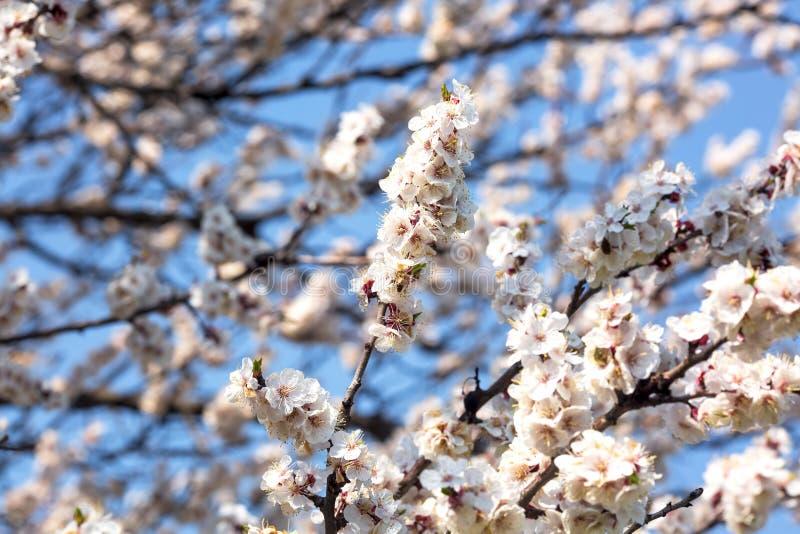 Blühende Niederlassungen von Obstbäumen gegen den blauen Himmel stockfotos
