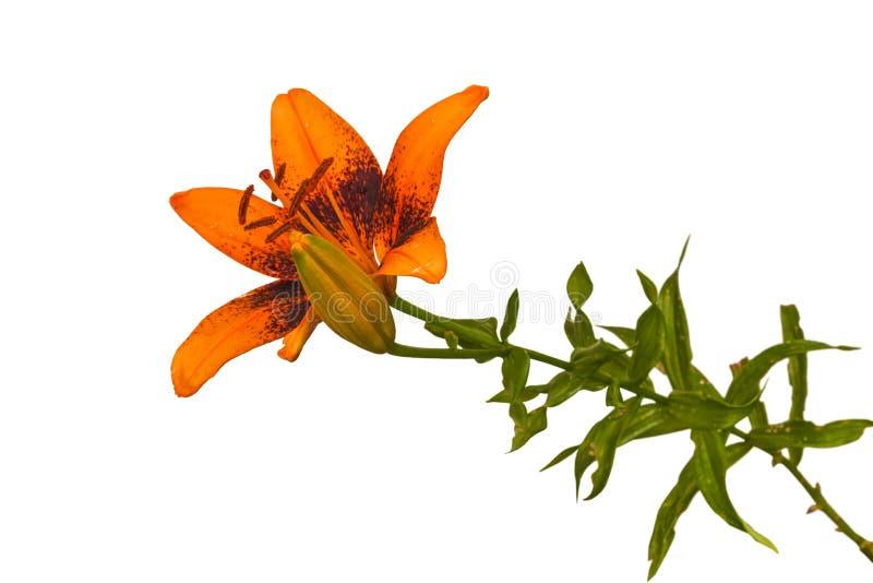 Blühende orange Lily Asiatic-Kreuzungen auf einer weißen Hintergrund-ISO stockfotos
