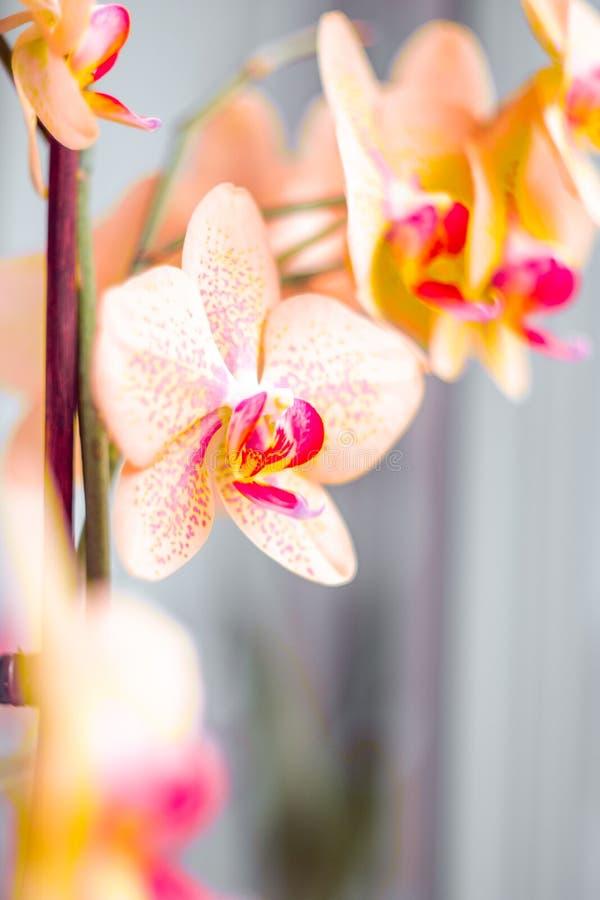 Blühende orange Orchideen des Zweigs mit einem roten Herzen auf einem grauen Hintergrund lizenzfreie stockfotos