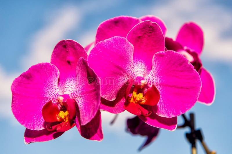 Blühende Orchidee mit den rosa Blumenblättern am sonnigen Tag Blume mit frischer Blüte auf blauem Himmel Schönheit der Natur Somm lizenzfreie stockfotos